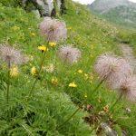 Alpen-Küchenschelle (Alpen-Anemone)