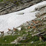 Ziegen am Liechtensteiner Höhenweg